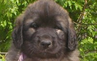 CHIOTS LEONBERG LOF - photos 6