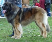 CHIOTS LEONBERG LOF - photos 1