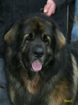 CHIOTS LEONBERG LOF - photos 4